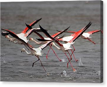Canvas Print featuring the photograph Flamingoes In Flight by Dennis Cox WorldViews