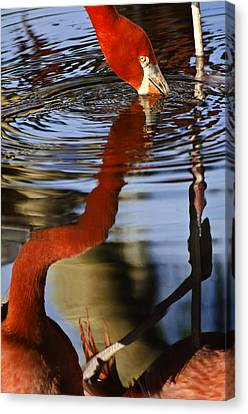 Flamino Reflections 1 Canvas Print by Dave Dilli