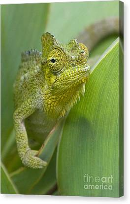 Canvas Print featuring the photograph Flap-necked Chameleon by Chris Scroggins