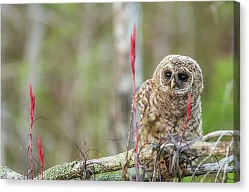 Fledgling Barred Owl (strix Varia Canvas Print