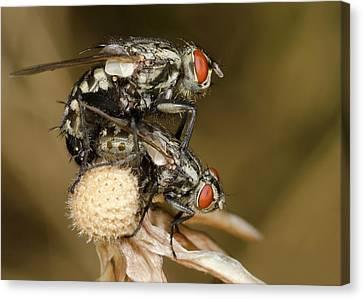 Flesh-flies Mating Canvas Print