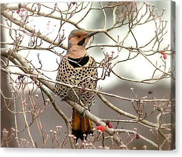 Flicker - Alabama State Bird - Attention Canvas Print