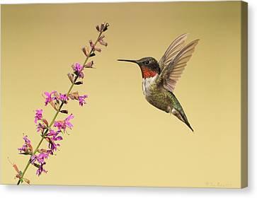 Canvas Print featuring the photograph Flight Of A Hummingbird by Daniel Behm