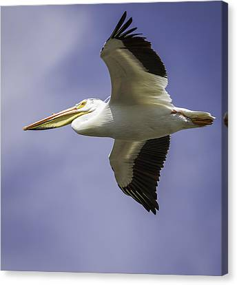 Flying White Pelicans Canvas Print - Flight Of The American White Pelican by Thomas Young