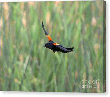 Cattail Canvas Print - Flight Of The Blackbird by Mike  Dawson