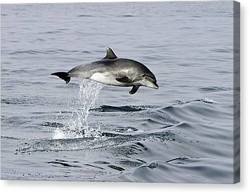 Flight Of The Dolphin Canvas Print by Shoal Hollingsworth