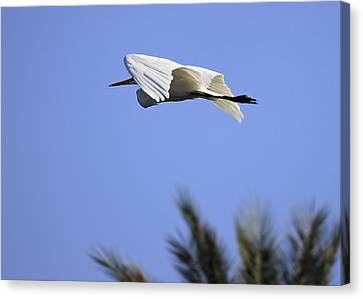 Canvas Print featuring the photograph Flight Of The Egret by Penny Meyers
