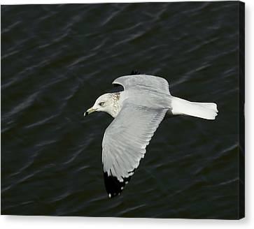 Flight Of The Gull Canvas Print by Ernie Echols