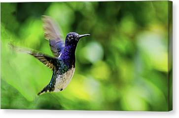Canvas Print featuring the photograph Flight Of The Hummingbird by Rob Tullis