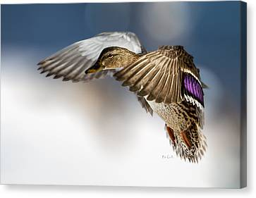 Canvas Print featuring the photograph Flight Of The Mallard by Bob Orsillo