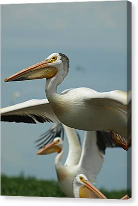 Flight Of The Pelican Canvas Print by James Peterson