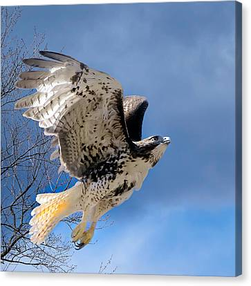 Flight Of The Red Tail Square Canvas Print