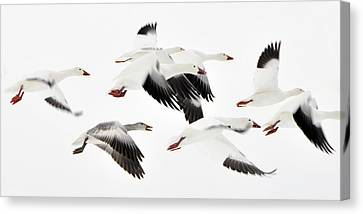 Flight Of The Snow Geese Canvas Print by Dan Myers
