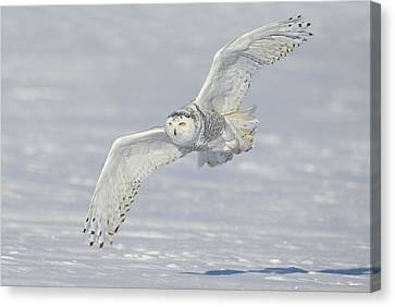Flight Of The Snowy Canvas Print by Daniel Behm