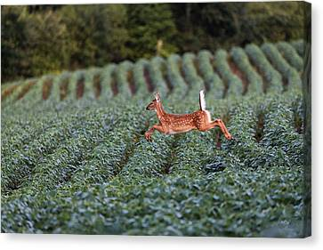 Flight Of The White-tailed Deer Canvas Print by Everet Regal