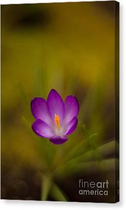 Crocus Flowers Canvas Print - Floating Bloom by Mike Reid