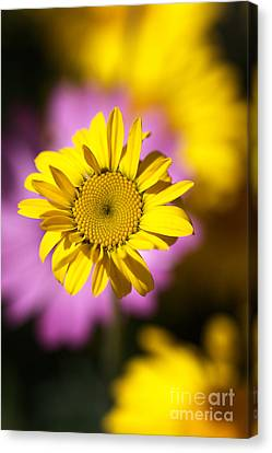 Canvas Print featuring the photograph Floating Daisy by Joy Watson