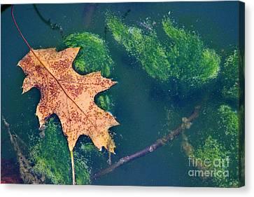 Floating Leaf  Canvas Print by Karen Adams