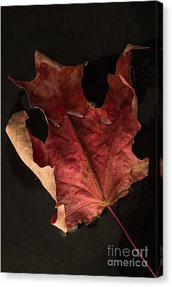 Maple Season Canvas Print - Floating Maple Leaf by Edward Fielding