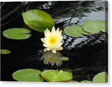 Floating Yellow Water Lily Canvas Print