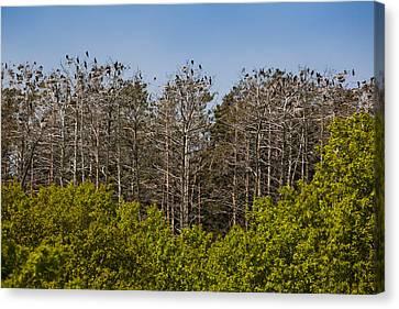 Flock Of Cormorant Birds Perching Canvas Print