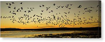 Flock Of Birds Canvas Print - Flock Of Geese Rise Off Pond At Bosque by Panoramic Images