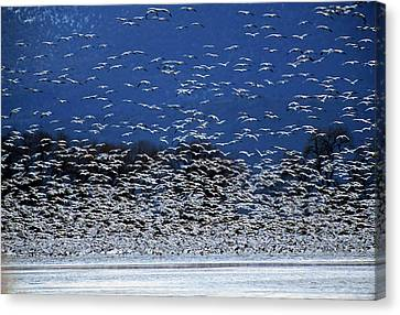 Flock Of Geese Canvas Print - Flock Of Rosss Geese, Chen Rossii by Cagan H. Sekercioglu