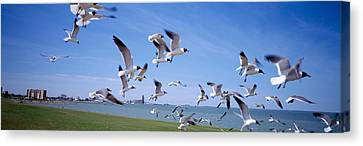 Flock Of Seagulls Flying On The Beach Canvas Print