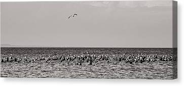 Flock Of Seagulls In Black And White Canvas Print by Sebastian Musial