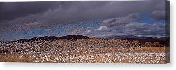 Flock Of Snow Geese Chen Caerulescens Canvas Print by Panoramic Images