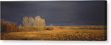 Flock Of Snow Geese Flying, Bosque Del Canvas Print by Panoramic Images