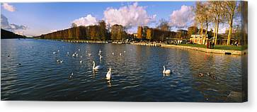 Flock Of Swans Swimming In A Lake Canvas Print