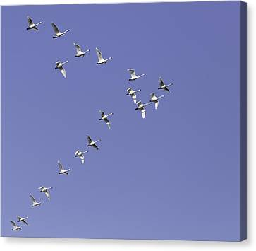 Flying Swan Canvas Print - Flock Of Tundra Swans In Flight by Thomas Young