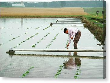 Flooded Soybean Crop Canvas Print by Ann Houser/us Department Of Agriculture