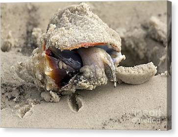 Canvas Print featuring the photograph Florida Fighting Conch by Meg Rousher