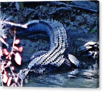 Florida 'gator Canvas Print by Jp Grace