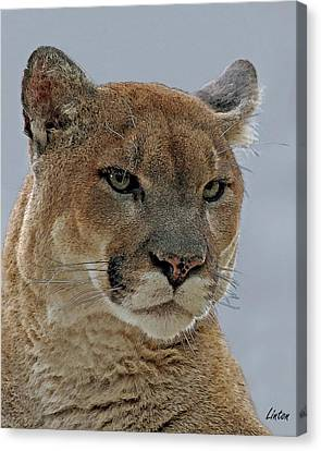 Florida Panther 5 Canvas Print by Larry Linton