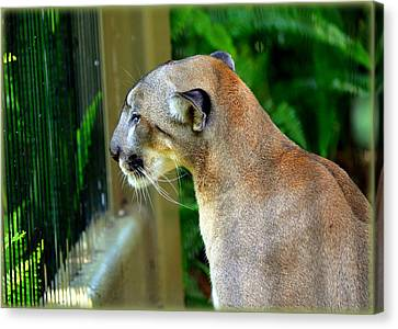 Canvas Print featuring the photograph Florida Panther by Amanda Vouglas
