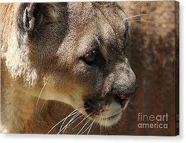 Canvas Print featuring the photograph Florida Panther by Meg Rousher