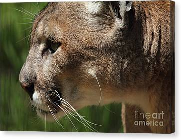 Canvas Print featuring the photograph Florida Panther Profile by Meg Rousher