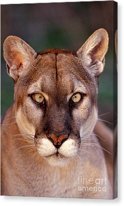 Florida Panther Canvas Print by Tom and Pat Leeson