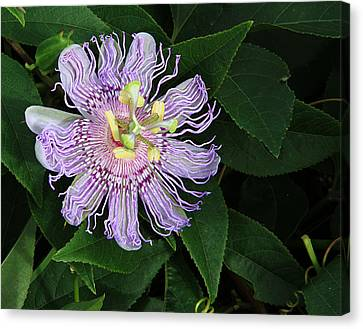 Florida Passion Flower Canvas Print