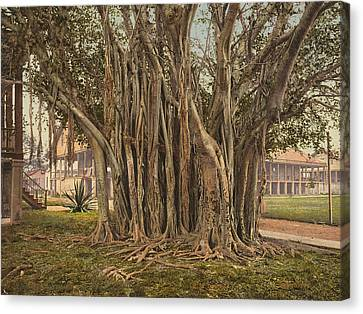 Florida Rubber Tree, C1900 Canvas Print by Granger