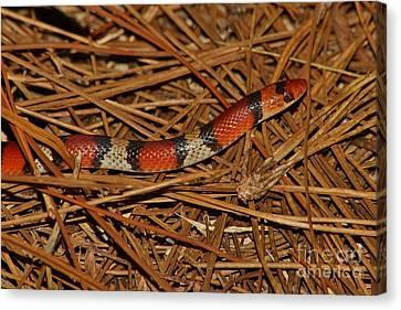 Florida Scarlet Snake Canvas Print by Lynda Dawson-Youngclaus