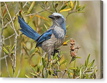 Florida Scrub Jay Canvas Print by Jennifer Zelik