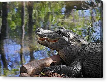 Late Canvas Print - Florida - Where The Alligator Smiles by Christine Till