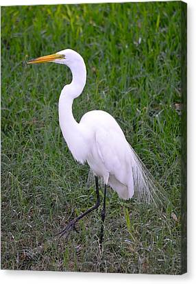 Florida White Egret Canvas Print by Richard Bryce and Family