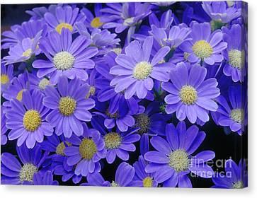 Florists Cineraria Hybrid Canvas Print by Geoff Bryant