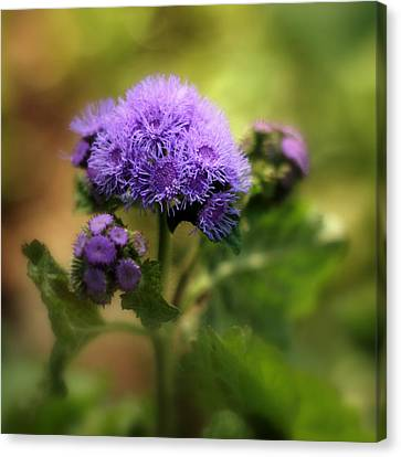 Ageratum Canvas Print by Jessica Jenney