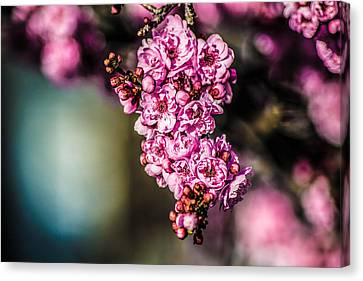 Canvas Print featuring the photograph Flourishing In Pink by Naomi Burgess